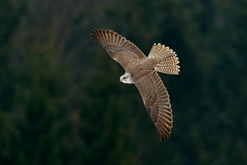 Gyrfalcon, Falco rusticolus, bird of prey fly. Flying rare bird with white head. Forest in cold winter, animal in nature habitat, Russia. Wildlife scene form nature. Falcon above the trees.