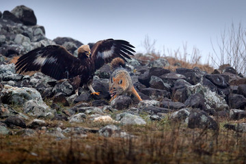 Wall Mural - Fight between two animals, golden eagle vs. golden jackal. Bird behaviour in the habitat, rocky mountain with stones, Rhodopes, Bulgaria. Wildlife scene from nature. Eagle attack jackal, open wings