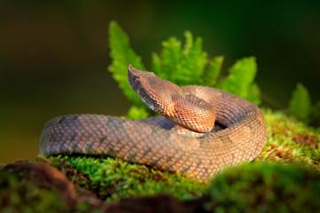 Porthidium nasutum, Rainforest Hognosed Pitviper, brown danger poison snake in the forest vegetation. Forest reptile in habitat, on the ground in leaves, Costa Rica. Widllife in Central America.