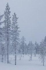 Tuinposter Wit Frozen trees covered with snow in Idre, Sweden during a cold morning in winter.