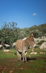 Photo sur Plexiglas Ane Village Donkey In Olive Grove