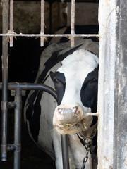 Cows in a stable along Naviglio Grande, Milan