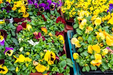 Stiefmütterchen im Blumenladen