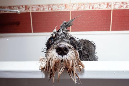 black dog schnauzer  in bathroom take shower