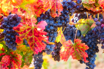 Blue grapes close-up with water drops and color autumn leaves, natural agricultural sunny background of vineyard for winemaking Fototapete