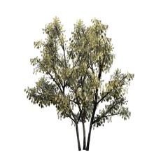 Common Hazel bush with catkins - isolated on white background