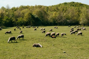 herd of sheeps grazing in meadow