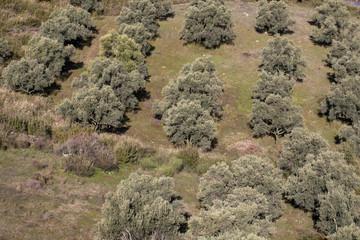 Olive-Tree,