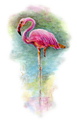 Flamingo stands in water. Watercolor painting with watercolors paints isolated on white background. Pink flamingo bird on lagoon shore.