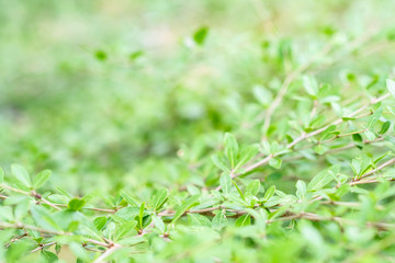 green leaves of tree and natural background. feel fresh and relax. closeup and selective focus