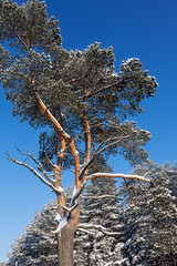 The top of the pines is in winter under the snow