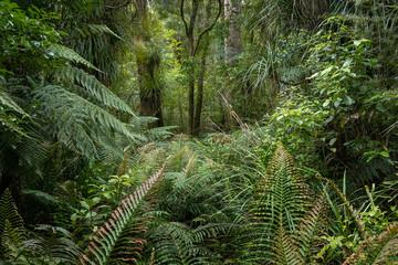 Waipoua Kauri Forest. New Zealand. Ferns jungle
