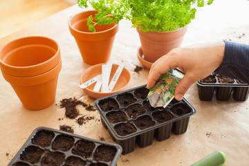 Fototapeta gardening, planting at home. man sowing seeds in germination box obraz