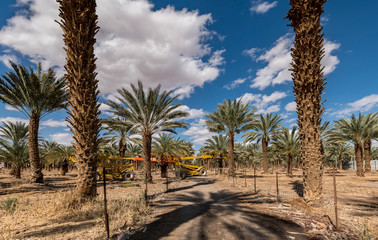 Plantation of date palms, routine maintenance. Tropical agriculture in the Middle East