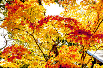Maple autumn tint tree in forest, maple turn to red orange yellow in autumn season with sun light