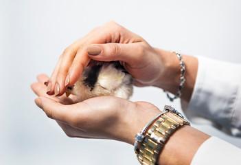 chick, chicken