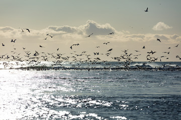 Vögel an der Gletscherlagune Jökulsárlón in Island