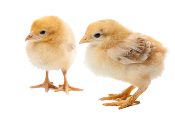 two small newborn chicken isolated