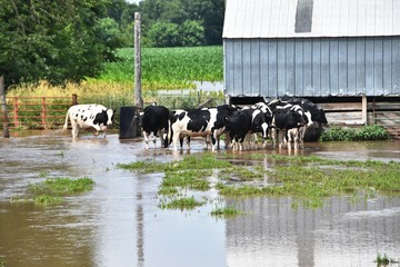 Cows in Flooded Pen