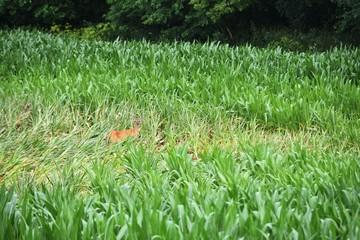 Deer Hiding in Tall Grass