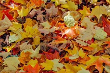 Close-up of autumn leaves, British Columbia, Canada