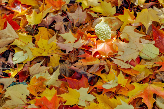 Close-up of autumn leaves, British Columbia, Canada
