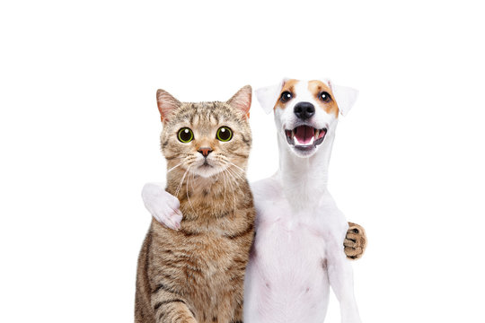 Portrait of a dog Jack Russell Terrier and cat Scottish Straight hugging each other isolated on white background