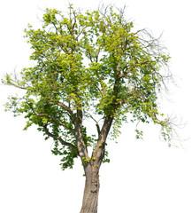 Aesculus hippocastanum - Gemeine Rosskastanie