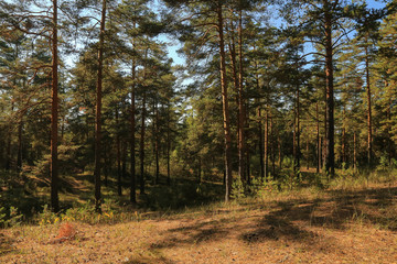 Summer pine green forest with blue sky in sunny day landscape