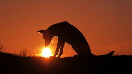 Dog breed Belgian Shepherd Malinois  Looking at the Setting Sun at Sunset
