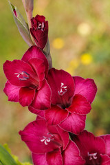 Close-up of pink-red gladiolus flower in the summer garden