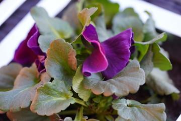 Printed kitchen splashbacks Flower shop Lente viooltjes bloemen planten