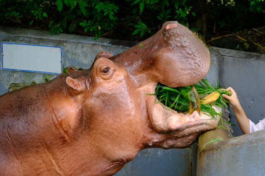 Feeding Hippopotamus with a bunch of fresh grasses in the zoo.