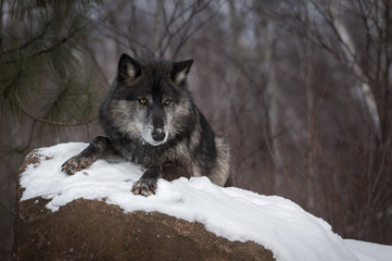 Wall Mural - Black Phase Grey Wolf (Canis lupus) Lies Atop Rock Winter
