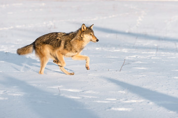 Fototapete - Grey Wolf (Canis lupus) Runs Right in Morning Light Winter