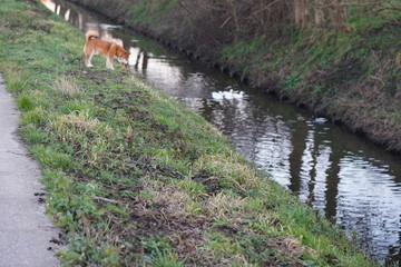 Wall Murals Dog Eenden gracht hond lente zomer