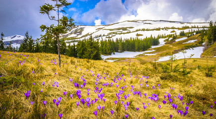 Spring mountains panorama with crocus flowers and snowy peaks of Ukrainian Carpathians. Wall mural