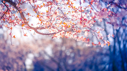 Nature background of beautiful tree pink flower in spring. Serenity and peaceful nature vintage pastel color filter
