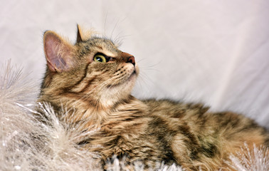 beautiful fluffy brown cat on a light background