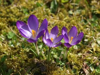 Aluminium Prints Crocuses Crocus vernus - Crocus de printemps appelés aussi crocus de Naple à fleur violette