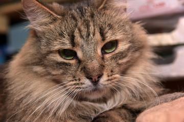 Siberian purebred  brown tabby cat