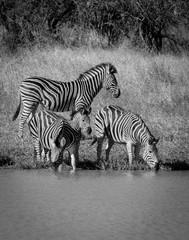 Furniture stickers Zebra Zebra in the African savannah, Kruger National Park, South Africa