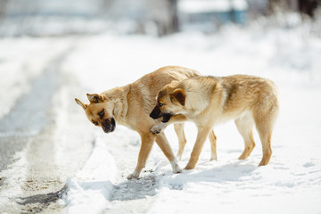 Portrait of two dogs over the bottom of the snow. The color of the yellow hair.