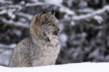 Lynx Kitten seen in Banff National Park