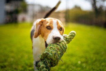 Beagle dog fun in garden outdoors run and jump with knot rope
