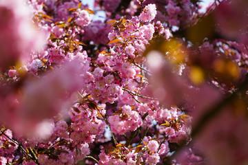 Fleurs De Sakura Et Porte Bonheur Chinois Buy This Stock Photo And