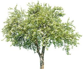 Pyrus communis - Birne, Birnenbaum