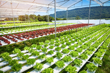 Vegetable hydroponic system / young and fresh Frillice Iceberg salad growing garden hydroponic farm salad