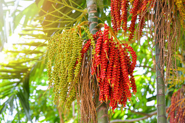 Date palm fruit ripe - Sealing wax palm on the tree