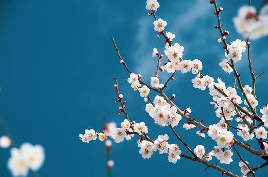 梅の木と青空